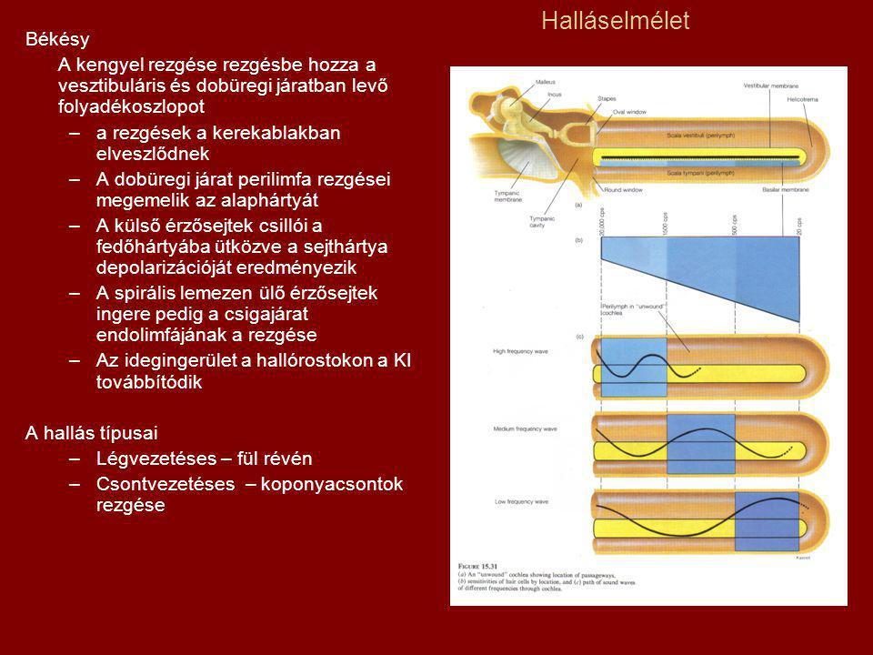 Halláselmélet Békésy A kengyel rezgése rezgésbe hozza a vesztibuláris és dobüregi járatban levő folyadékoszlopot –a rezgések a kerekablakban elveszlődnek –A dobüregi járat perilimfa rezgései megemelik az alaphártyát –A külső érzősejtek csillói a fedőhártyába ütközve a sejthártya depolarizációját eredményezik –A spirális lemezen ülő érzősejtek ingere pedig a csigajárat endolimfájának a rezgése –Az idegingerület a hallórostokon a KI továbbítódik A hallás típusai –Légvezetéses – fül révén –Csontvezetéses – koponyacsontok rezgése