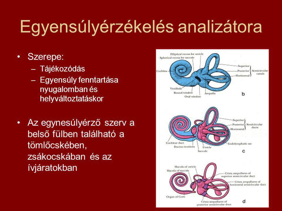 Egyensúlyérzékelés analizátora Szerepe: –Tájékozódás –Egyensúly fenntartása nyugalomban és helyváltoztatáskor Az egynesúlyérző szerv a belső fülben található a tömlőcskében, zsákocskában és az ívjáratokban