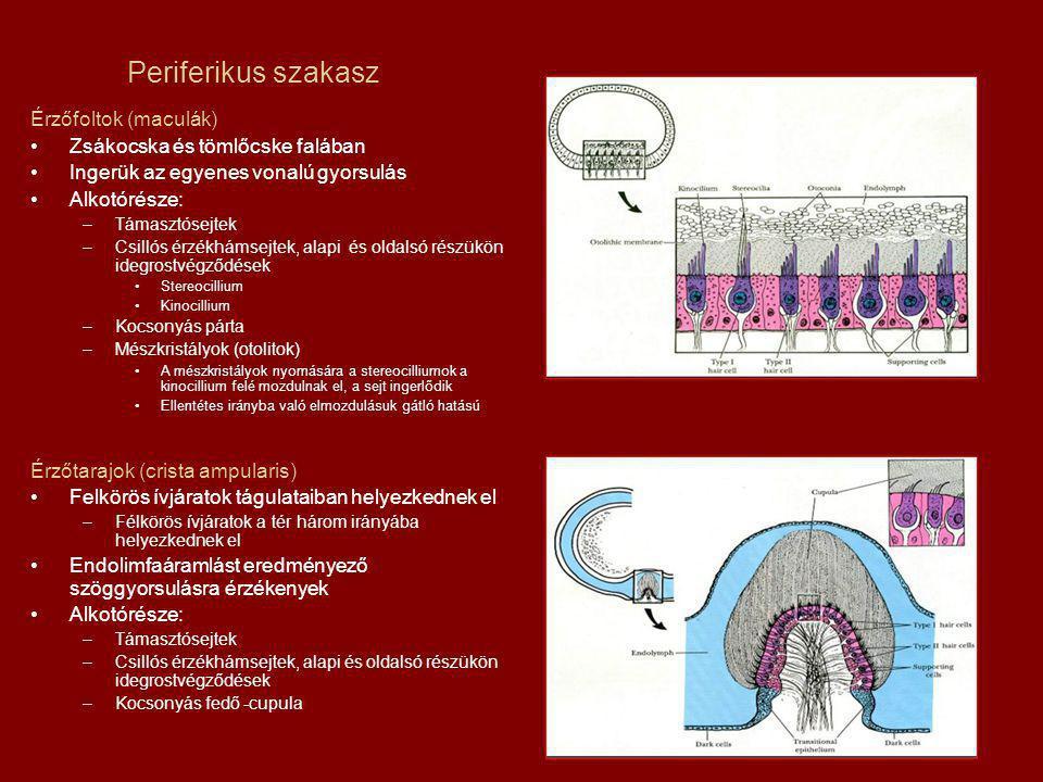 Periferikus szakasz Érzőfoltok (maculák) Zsákocska és tömlőcske falában Ingerük az egyenes vonalú gyorsulás Alkotórésze: –Támasztósejtek –Csillós érzékhámsejtek, alapi és oldalsó részükön idegrostvégződések Stereocillium Kinocillium –Kocsonyás párta –Mészkristályok (otolitok) A mészkristályok nyomására a stereocilliumok a kinocillium felé mozdulnak el, a sejt ingerlődik Ellentétes irányba való elmozdulásuk gátló hatású Érzőtarajok (crista ampularis) Felkörös ívjáratok tágulataiban helyezkednek el –Félkörös ívjáratok a tér három irányába helyezkednek el Endolimfaáramlást eredményező szöggyorsulásra érzékenyek Alkotórésze: –Támasztósejtek –Csillós érzékhámsejtek, alapi és oldalsó részükön idegrostvégződések –Kocsonyás fedő -cupula