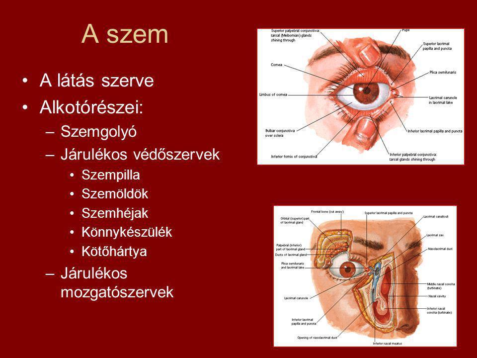 A szem A látás szerve Alkotórészei: –Szemgolyó –Járulékos védőszervek Szempilla Szemöldök Szemhéjak Könnykészülék Kötőhártya –Járulékos mozgatószervek