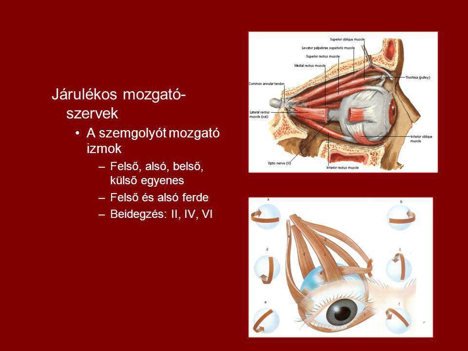 Járulékos mozgató- szervek A szemgolyót mozgató izmok –Felső, alsó, belső, külső egyenes –Felső és alsó ferde –Beidegzés: II, IV, VI