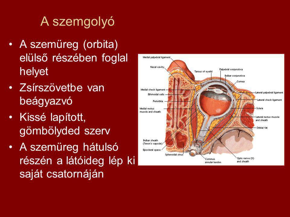 A szemgolyó A szemüreg (orbita) elülső részében foglal helyet Zsírszövetbe van beágyazvó Kissé lapított, gömbölyded szerv A szemüreg hátulsó részén a látóideg lép ki saját csatornáján
