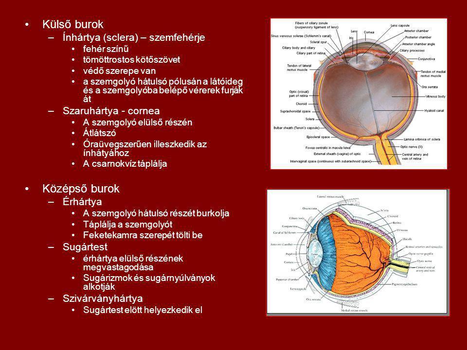 Külső burok –Ínhártya (sclera) – szemfehérje fehér színű tömöttrostos kötőszövet védő szerepe van a szemgolyó hátulsó pólusán a látóideg és a szemgolyóba belépő vérerek furják át –Szaruhártya - cornea A szemgolyó elülső részén Átlátszó Óraüvegszerűen illeszkedik az ínhátyához A csarnokvíz táplálja Középső burok –Érhártya A szemgolyó hátulsó részét burkolja Táplálja a szemgolyót Feketekamra szerepét tölti be –Sugártest érhártya elülső részének megvastagodása Sugárizmok és sugárnyúlványok alkotják –Szivárványhártya Sugártest elött helyezkedik el