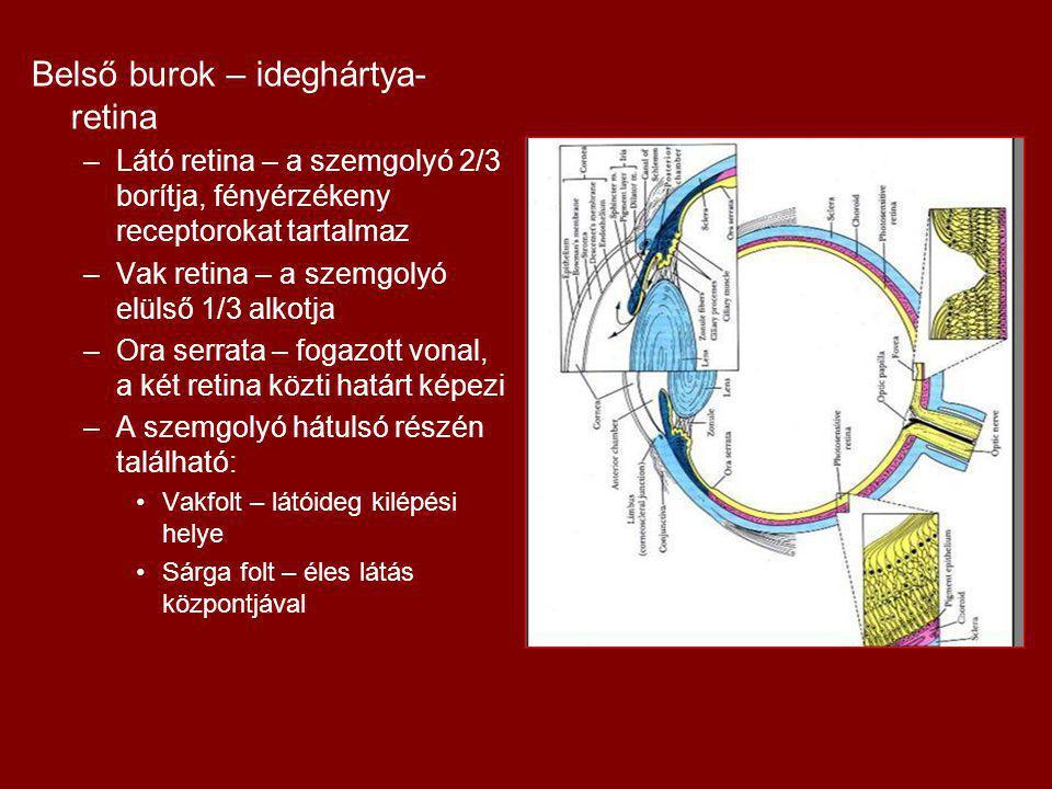 Belső burok – ideghártya- retina –Látó retina – a szemgolyó 2/3 borítja, fényérzékeny receptorokat tartalmaz –Vak retina – a szemgolyó elülső 1/3 alkotja –Ora serrata – fogazott vonal, a két retina közti határt képezi –A szemgolyó hátulsó részén található: Vakfolt – látóideg kilépési helye Sárga folt – éles látás központjával