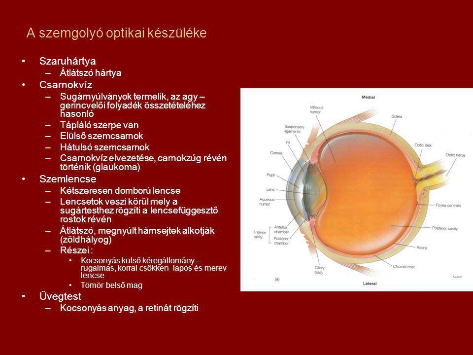 A szemgolyó optikai készüléke Szaruhártya –Átlátszó hártya Csarnokvíz –Sugárnyúlványok termelik, az agy – gerincvelői folyadék összetételéhez hasonló –Tápláló szerpe van –Elülső szemcsarnok –Hátulsó szemcsarnok –Csarnokvíz elvezetése, carnokzúg révén történik (glaukoma) Szemlencse –Kétszeresen domború lencse –Lencsetok veszi körül mely a sugártesthez rögzíti a lencsefüggesztő rostok révén –Átlátszó, megnyúlt hámsejtek alkotják (zöldhályog) –Részei : Kocsonyás külső kéregállomány – rugalmas, korral csökken- lapos és merev lencse Tömör belső mag Üvegtest –Kocsonyás anyag, a retinát rögzíti