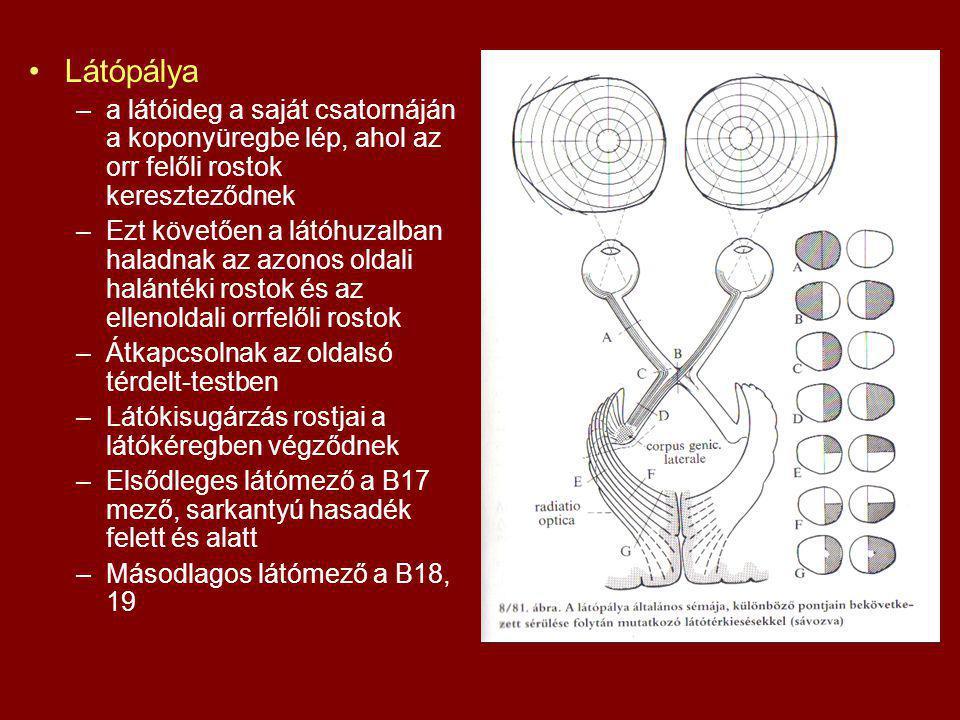 Látópálya –a látóideg a saját csatornáján a koponyüregbe lép, ahol az orr felőli rostok kereszteződnek –Ezt követően a látóhuzalban haladnak az azonos oldali halántéki rostok és az ellenoldali orrfelőli rostok –Átkapcsolnak az oldalsó térdelt-testben –Látókisugárzás rostjai a látókéregben végződnek –Elsődleges látómező a B17 mező, sarkantyú hasadék felett és alatt –Másodlagos látómező a B18, 19