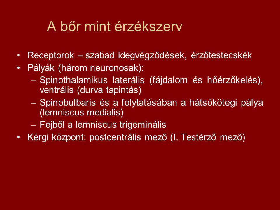 A bőr mint érzékszerv Receptorok – szabad idegvégződések, érzőtestecskék Pályák (három neuronosak): –Spinothalamikus laterális (fájdalom és hőérzőkelés), ventrális (durva tapintás) –Spinobulbaris és a folytatásában a hátsókötegi pálya (lemniscus medialis) –Fejből a lemniscus trigeminális Kérgi központ: postcentrális mező (I.