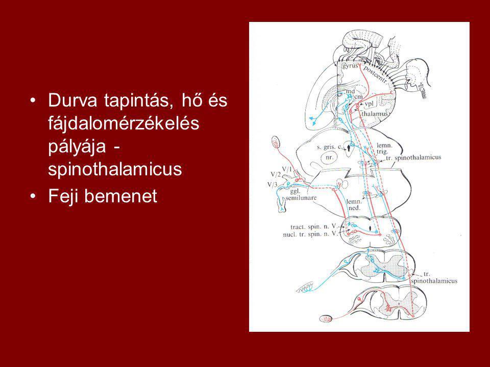 Durva tapintás, hő és fájdalomérzékelés pályája - spinothalamicus Feji bemenet