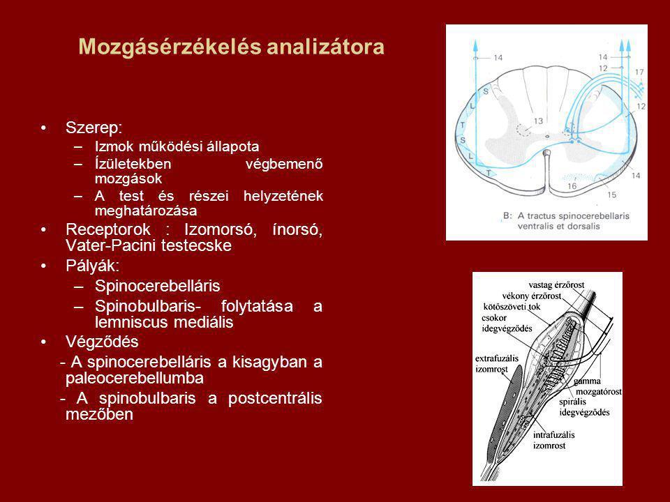 Mozgásérzékelés analizátora Szerep: –Izmok működési állapota –Ízületekben végbemenő mozgások –A test és részei helyzetének meghatározása Receptorok : Izomorsó, ínorsó, Vater-Pacini testecske Pályák: –Spinocerebelláris –Spinobulbaris- folytatása a lemniscus mediális Végződés - A spinocerebelláris a kisagyban a paleocerebellumba - A spinobulbaris a postcentrális mezőben