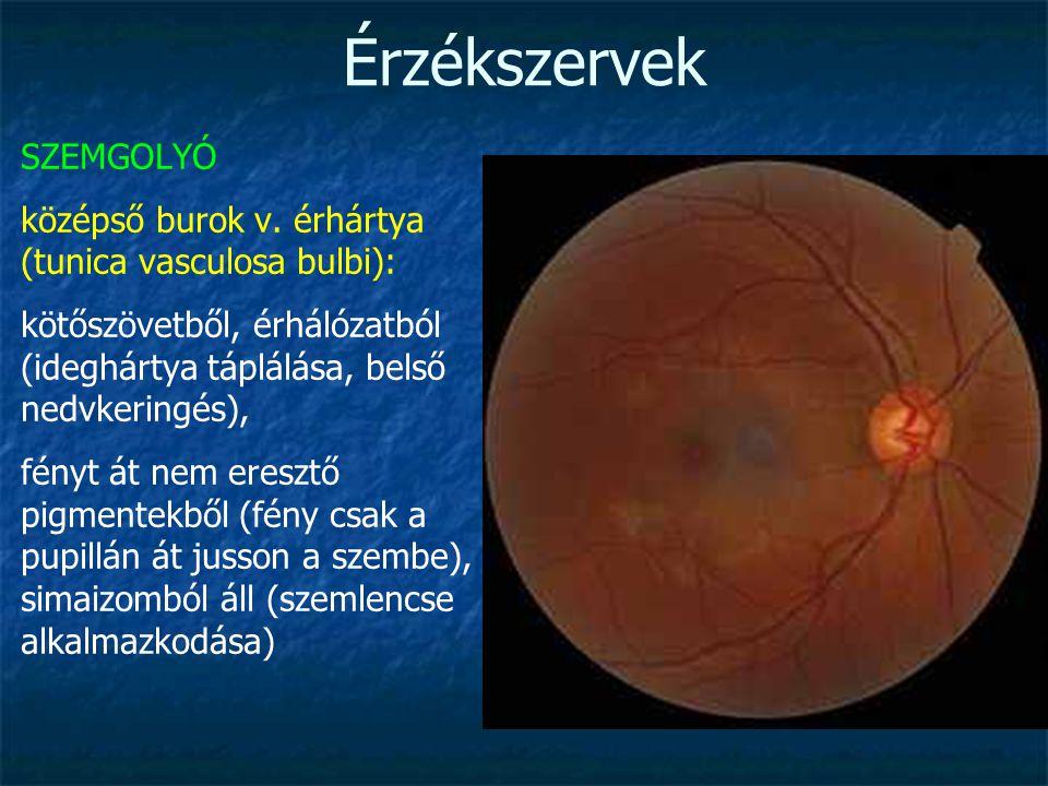 Érzékszervek SZEMGOLYÓ középső burok v. érhártya (tunica vasculosa bulbi): kötőszövetből, érhálózatból (ideghártya táplálása, belső nedvkeringés), fén