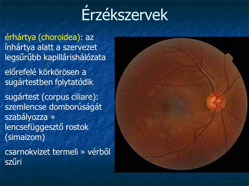 Érzékszervek érhártya (choroidea): az ínhártya alatt a szervezet legsűrűbb kapillárishálózata előrefelé körkörösen a sugártestben folytatódik sugártes