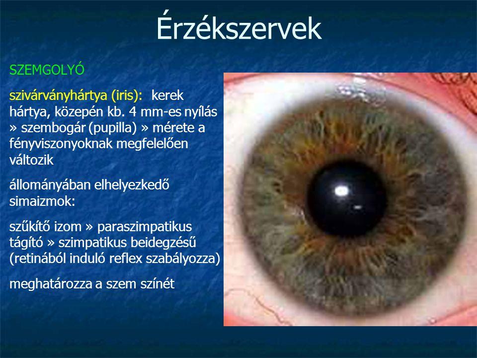 Érzékszervek SZEMGOLYÓ szivárványhártya (iris): kerek hártya, közepén kb. 4 mm-es nyílás » szembogár (pupilla) » mérete a fényviszonyoknak megfelelően