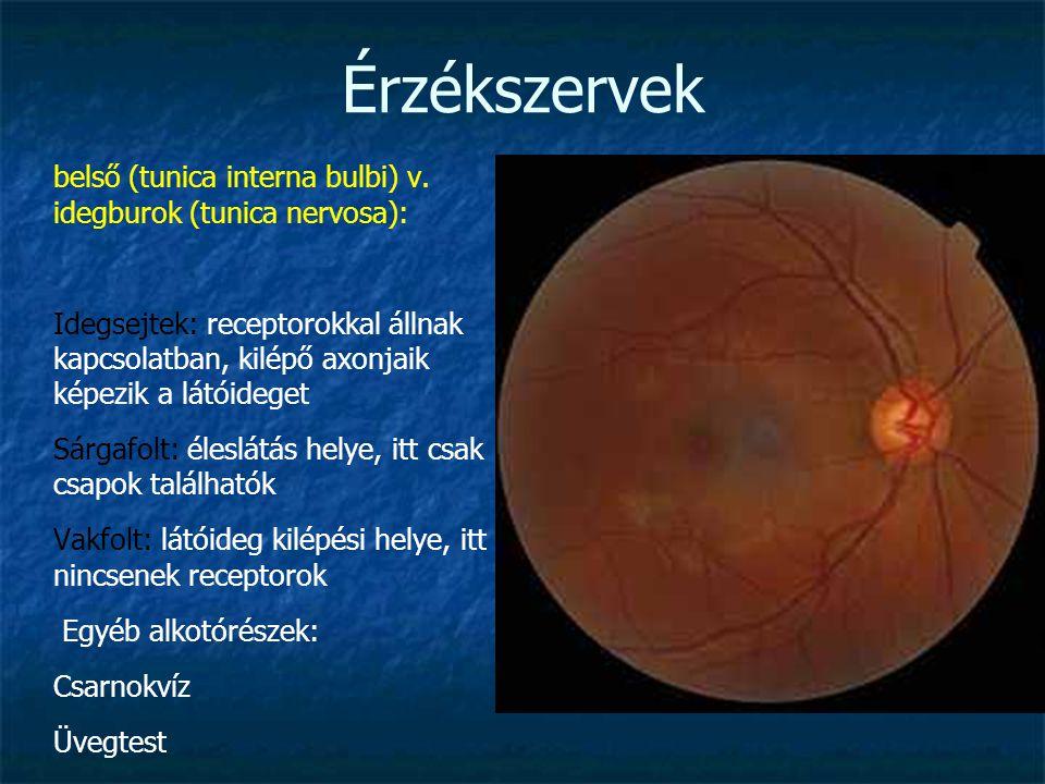 Érzékszervek belső (tunica interna bulbi) v. idegburok (tunica nervosa): Idegsejtek: receptorokkal állnak kapcsolatban, kilépő axonjaik képezik a látó