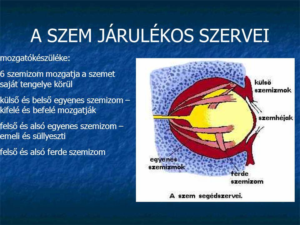 A SZEM JÁRULÉKOS SZERVEI védőkészüléke: szemhéjak: befedik, védik, melegen és nedvesen tartják a szemgolyót szempillák kötőhártya (tunica conjunctiva): laza nyálkahártya, ami a szemhéjak belső felszínéről a szemgolyó elülső felszínére húzódik, a könny rendszeresen átmossa, erekben gazdag, de csak gyulladásban, irritációban láthatók (véreres szem)