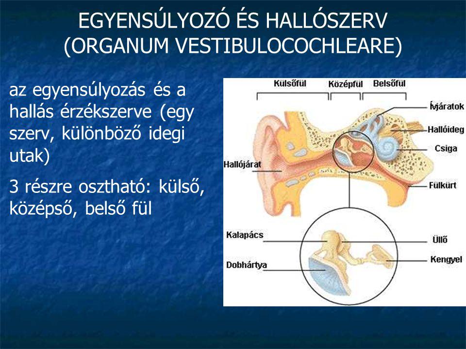 EGYENSÚLYOZÓ ÉS HALLÓSZERV (ORGANUM VESTIBULOCOCHLEARE) külső fül (auris externa): feladata a hangrezgések továbbítása a középfülhöz fülkagyló (auricula): a külső hallójárat nyílását (porus acusticus externus) veszi körül görbületei az egyénre jellemzőek alsó részén a porc hiányzik (bőr + zsír) » fülcimpa