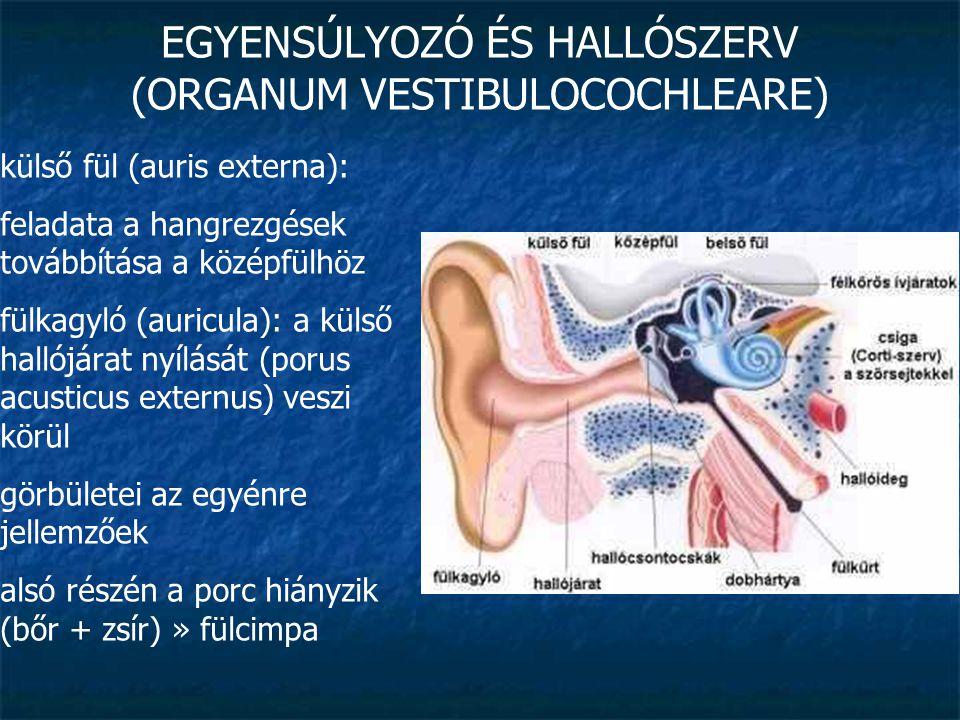 EGYENSÚLYOZÓ ÉS HALLÓSZERV (ORGANUM VESTIBULOCOCHLEARE) külső fül (auris externa): feladata a hangrezgések továbbítása a középfülhöz fülkagyló (auricu