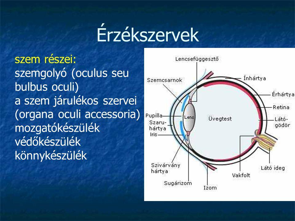 Érzékszervek szem részei: szemgolyó (oculus seu bulbus oculi) a szem járulékos szervei (organa oculi accessoria) mozgatókészülék védőkészülék könnykés