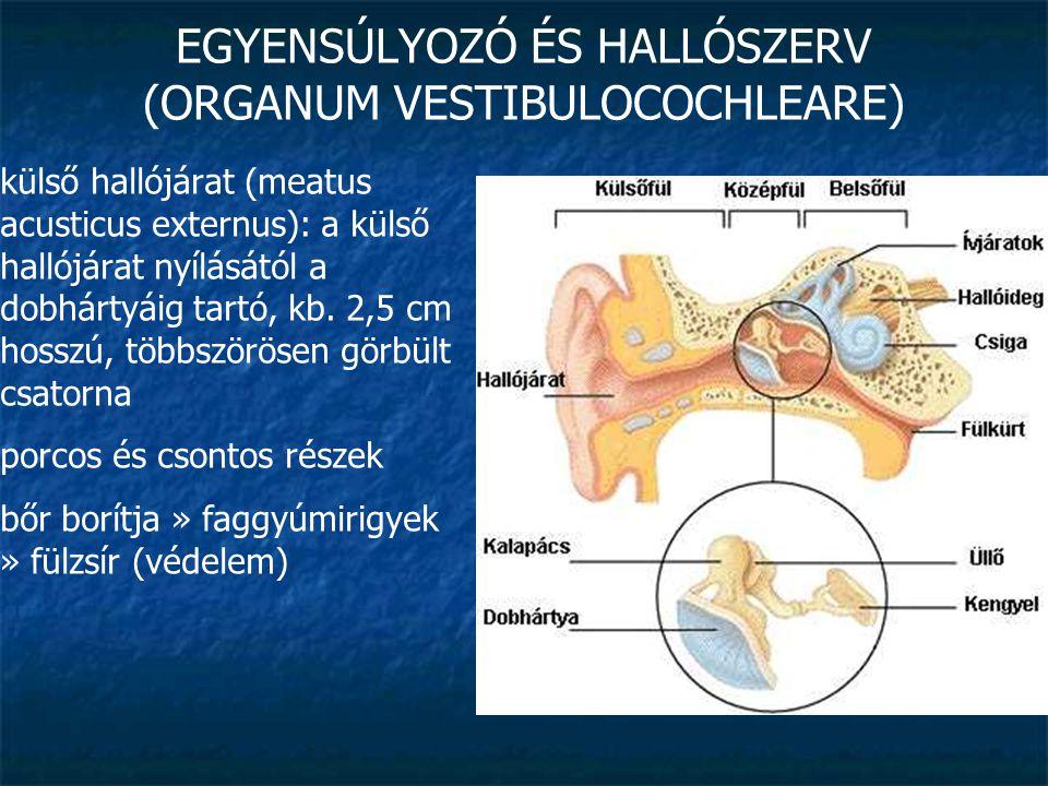 EGYENSÚLYOZÓ ÉS HALLÓSZERV (ORGANUM VESTIBULOCOCHLEARE) külső hallójárat (meatus acusticus externus): a külső hallójárat nyílásától a dobhártyáig tart