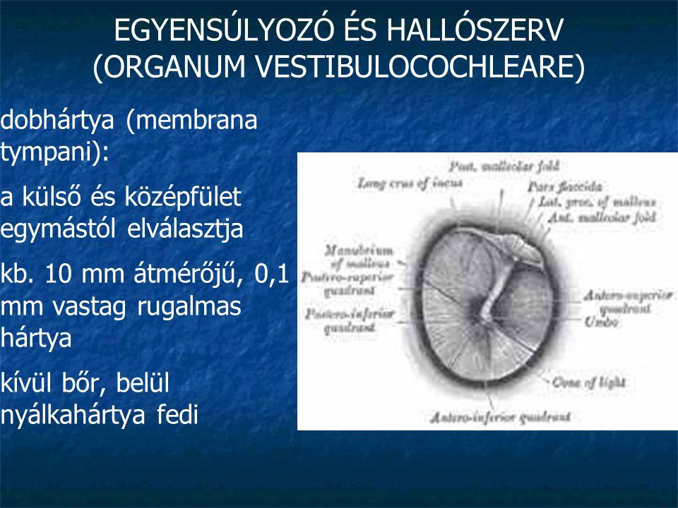 EGYENSÚLYOZÓ ÉS HALLÓSZERV (ORGANUM VESTIBULOCOCHLEARE) dobhártya (membrana tympani): a külső és középfület egymástól elválasztja kb. 10 mm átmérőjű,