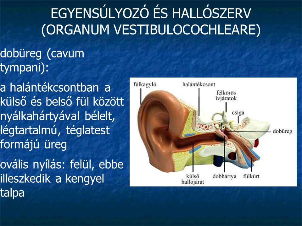 EGYENSÚLYOZÓ ÉS HALLÓSZERV (ORGANUM VESTIBULOCOCHLEARE) dobüreg (cavum tympani): a halántékcsontban a külső és belső fül között nyálkahártyával bélelt