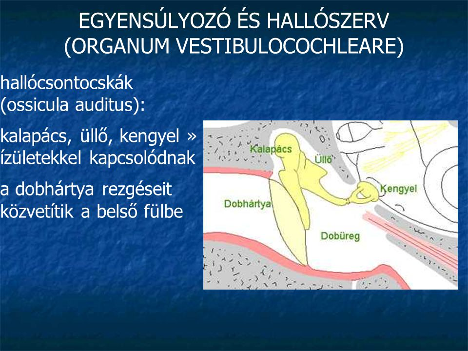 EGYENSÚLYOZÓ ÉS HALLÓSZERV (ORGANUM VESTIBULOCOCHLEARE) fülkürt (tuba auditiva) v.