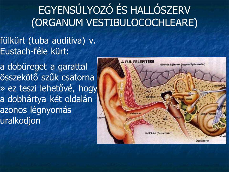 EGYENSÚLYOZÓ ÉS HALLÓSZERV (ORGANUM VESTIBULOCOCHLEARE) belső fül (auris interna): a halló- és egyensúlyozó szerv receptorait és dúcait tartalmazza bonyolult felépítésű » labirintus » csontos és hártyás rész