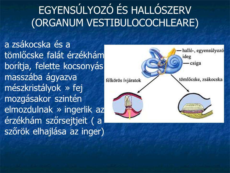 EGYENSÚLYOZÓ ÉS HALLÓSZERV (ORGANUM VESTIBULOCOCHLEARE) hártyás ívjáratok (ductus semicirculares): tömlőcskéből indulnak ezekben is endolympha » a fej mozgása következtében saját tehetetlensége miatt szintén elmozdul » érzékelősejteknek ütközik » ingerületet vált ki tájékoztatja az idegrendszert a fej helyzetéről