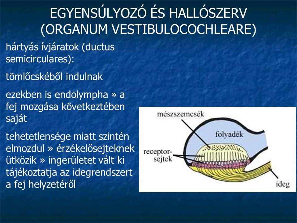 EGYENSÚLYOZÓ ÉS HALLÓSZERV (ORGANUM VESTIBULOCOCHLEARE) csigavezeték (ductus cochlearis): keresztmetszete háromszög alakú belsejét endolympha tölti ki alaphártyáján van a Corti-szerv (hallóérzékszerv) » speciális érzékhámvastagodás » ezek fölé hajlik egy kocsonyás anyaggal borí- tott lemez » a folyadék mozgása elhajlítja az érzékszőröket » hallóideg ingerületbe kerül