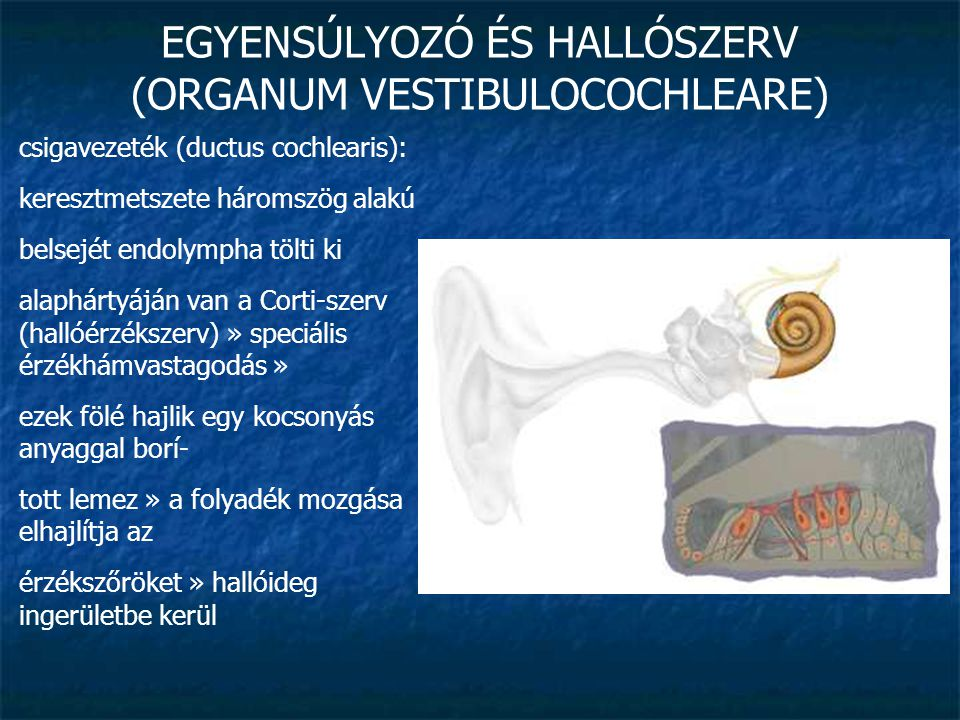 EGYENSÚLYOZÓ ÉS HALLÓSZERV (ORGANUM VESTIBULOCOCHLEARE) csigavezeték (ductus cochlearis): keresztmetszete háromszög alakú belsejét endolympha tölti ki