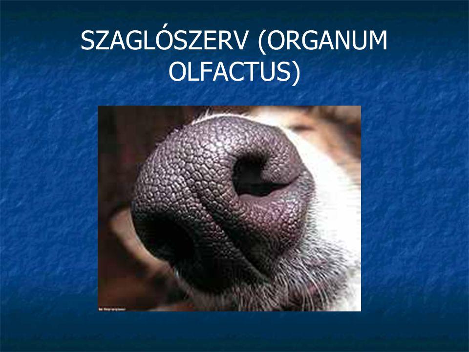SZAGLÓSZERV (ORGANUM OLFACTUS)