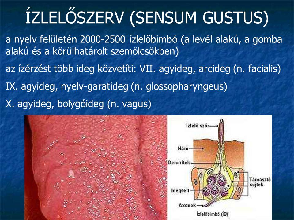 ÍZLELŐSZERV (SENSUM GUSTUS) a nyelv felületén 2000-2500 ízlelőbimbó (a levél alakú, a gomba alakú és a körülhatárolt szemölcsökben) az ízérzést több i