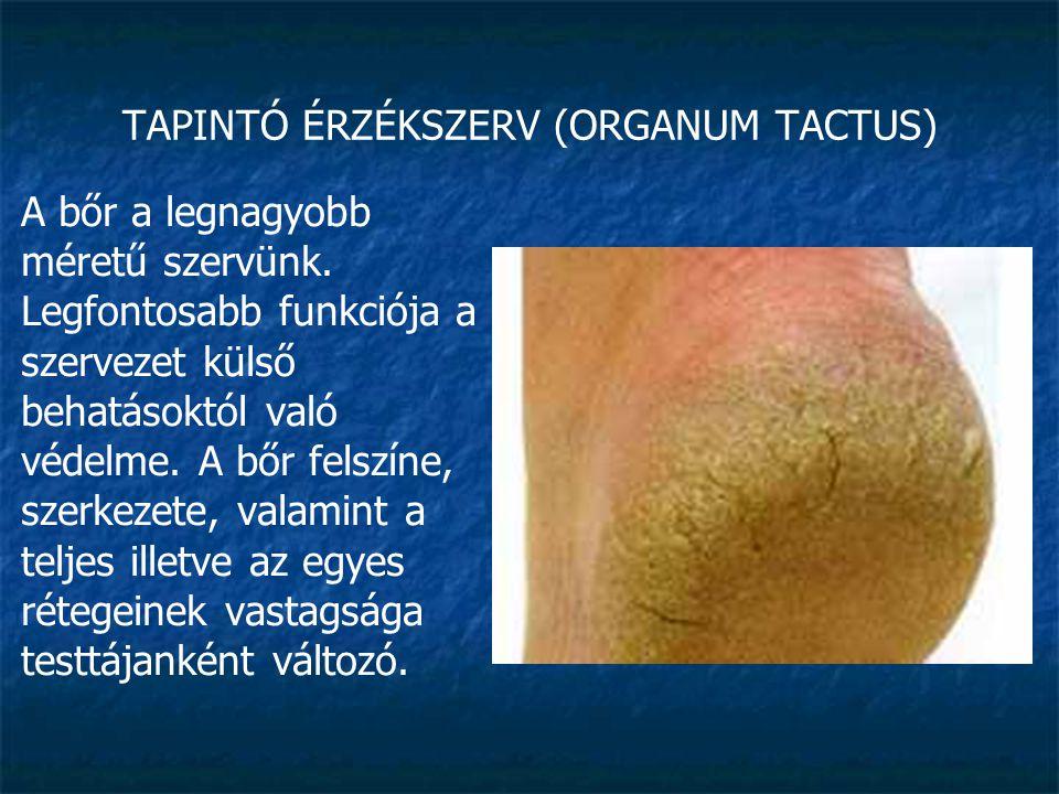 TAPINTÓ ÉRZÉKSZERV (ORGANUM TACTUS) kb.