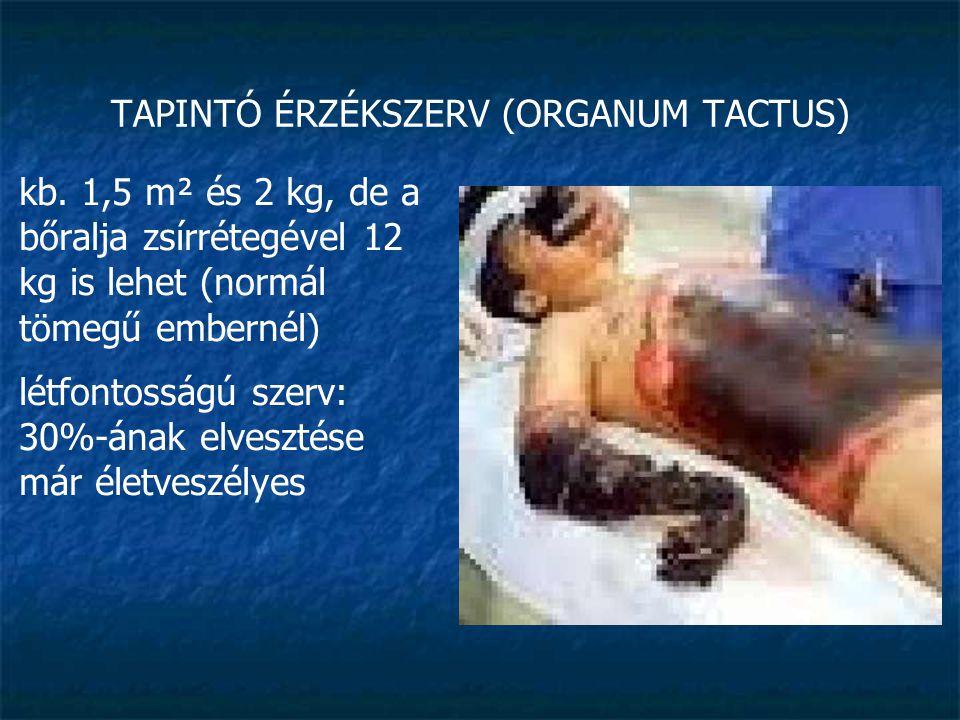 TAPINTÓ ÉRZÉKSZERV (ORGANUM TACTUS) kb. 1,5 m² és 2 kg, de a bőralja zsírrétegével 12 kg is lehet (normál tömegű embernél) létfontosságú szerv: 30%-án
