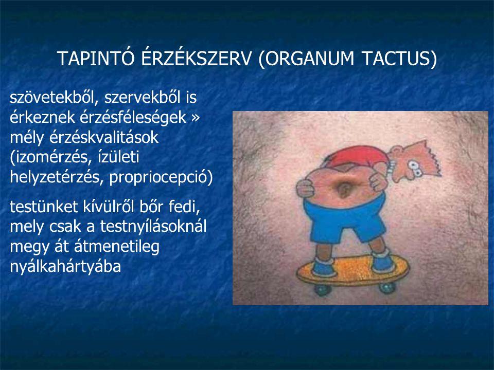 TAPINTÓ ÉRZÉKSZERV (ORGANUM TACTUS) szövetekből, szervekből is érkeznek érzésféleségek » mély érzéskvalitások (izomérzés, ízületi helyzetérzés, propri