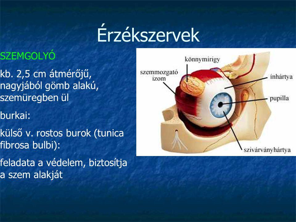 Érzékszervek SZEMGOLYÓ kb. 2,5 cm átmérőjű, nagyjából gömb alakú, szemüregben ül burkai: külső v. rostos burok (tunica fibrosa bulbi): feladata a véde