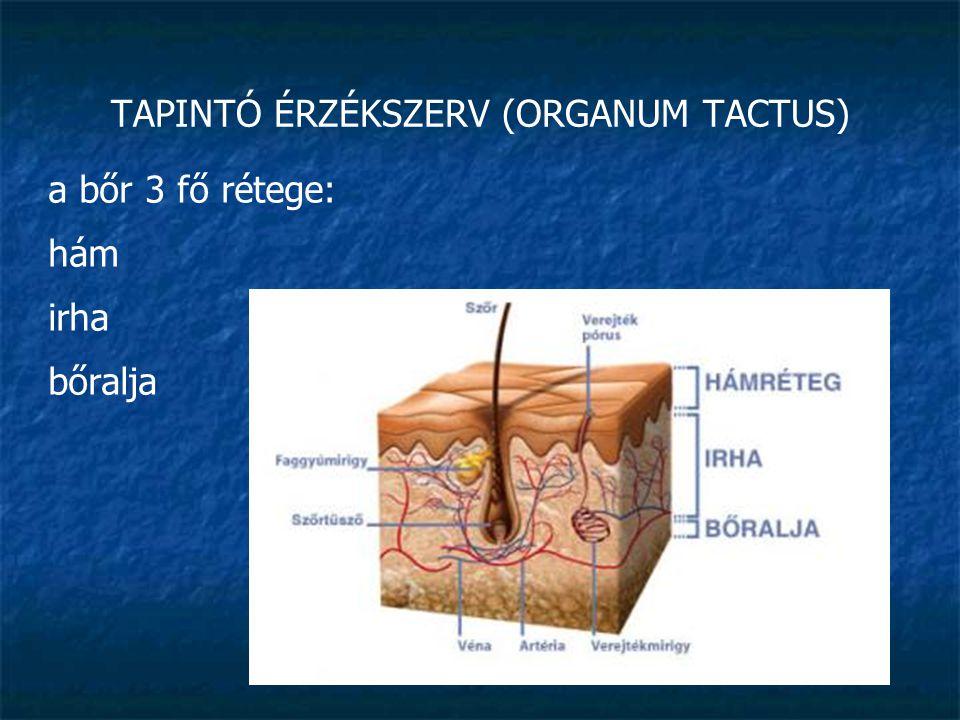 TAPINTÓ ÉRZÉKSZERV (ORGANUM TACTUS) hám (epidermis): többrétegű elszarusodó laphám: a kívül lévő szaruréteg » folyamatosan kopik, de folyamatosan pótlódik is az alatta lévő élő hámból a legalsó réteg festéksejteket (melanociták) is tartalmaz (öröklött, barnulás)