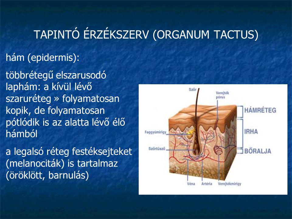 TAPINTÓ ÉRZÉKSZERV (ORGANUM TACTUS) hám (epidermis): a hámrétegben nincsenek sem erek, sem idegek, az alatta lévő irha táplálja (» bőrkeményedés, vízhólyag, vérhólyag) vastagsága a mechanikai igénybevételtől függ a legtöbb helyen 50 µm vastag, de a tenyéren, talpon 1mm is lehet
