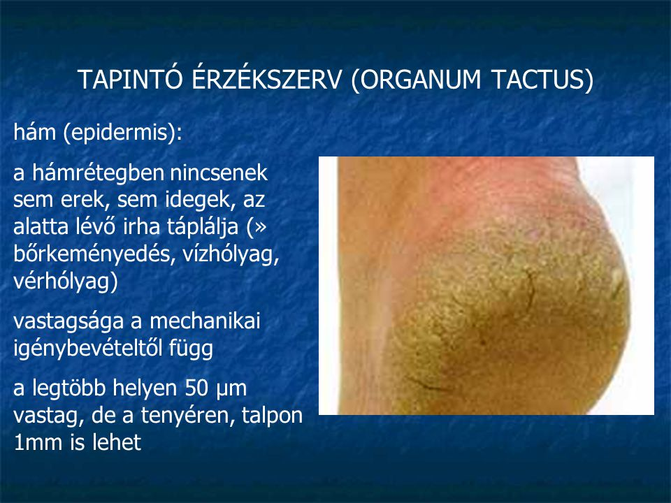 TAPINTÓ ÉRZÉKSZERV (ORGANUM TACTUS) irha (corium): kollagén és elasztikus rostokból álló speciális kötőszövet a kollagén rostjai különböző irányokban futnak » rugalmas, jól nyújtható, ugyanakkor szilárd is gazdag érhálózat: táplálás, hőszabályozás (leégés, lepirulás: ha a festéksejtek nem tudják elnyelni az ultraibolya sugárzást és hővé alakítani) idegvégződések (tapintás, nyomás, hideg, meleg, szabad idegvégződések – fájdalom)