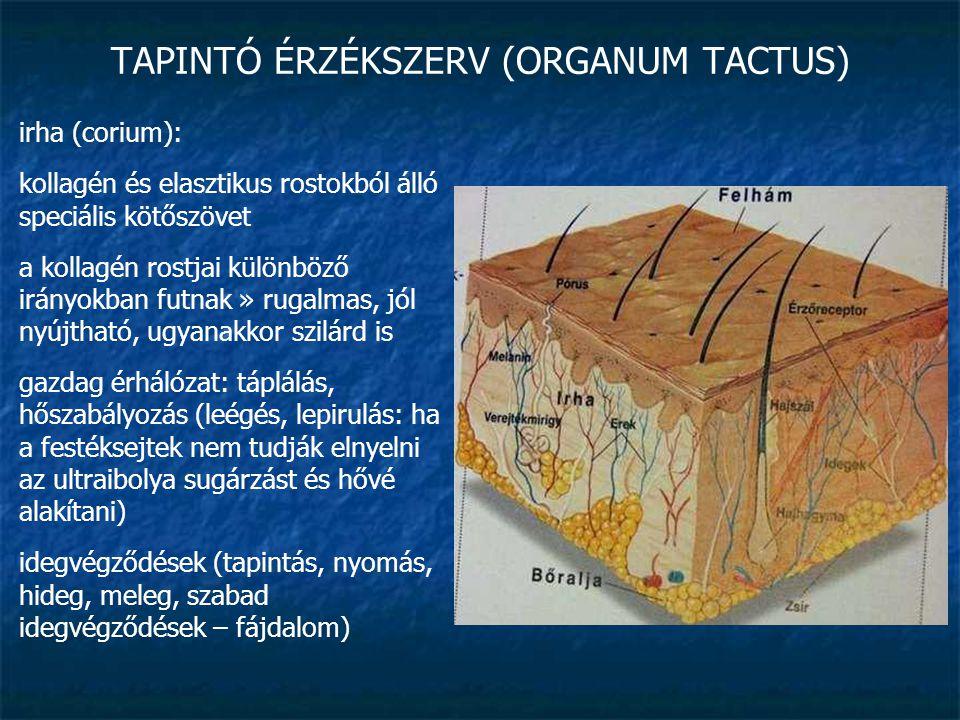 TAPINTÓ ÉRZÉKSZERV (ORGANUM TACTUS) bőralja (tela subcutanea): testtájanként változó vastagságú és rostirányú laza rostos kötőszövet + zsír kötőszövetesen kötődik az alatta lévő izmok bőnyéjével vagy csonthártyával
