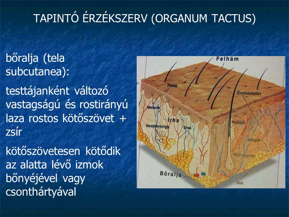 TAPINTÓ ÉRZÉKSZERV (ORGANUM TACTUS) bőralja (tela subcutanea): általában jelentősen elmozdulhat alapja felett, de: tenyér, talp bőre szorosan rögzül alapjához - a zsírszövet itt rugalmas párnaként funkcionál innen indulnak a szőrtüszők, bőrmirigyek valamint gazdag érhálózata van a kötőszövetekben folyadékgyülem (oedema) jöhet létre