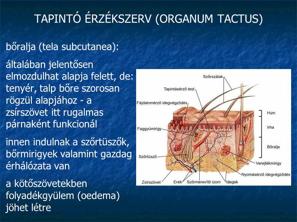 TAPINTÓ ÉRZÉKSZERV (ORGANUM TACTUS) bőralja (tela subcutanea): általában jelentősen elmozdulhat alapja felett, de: tenyér, talp bőre szorosan rögzül a