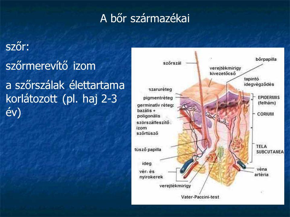 A bőr származékai szőr: szőrmerevítő izom a szőrszálak élettartama korlátozott (pl. haj 2-3 év)