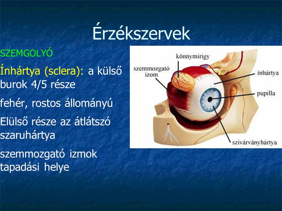 Érzékszervek SZEMGOLYÓ szaruhártya (cornea): a külső burok 1/5 része kissé előredomborodik gazdag idegvégződésekben, ereket nem tartalmaz (táplálás diffúzióval) teljesen átlátszó a fény róla részben visszaverődik, részben továbbítódik