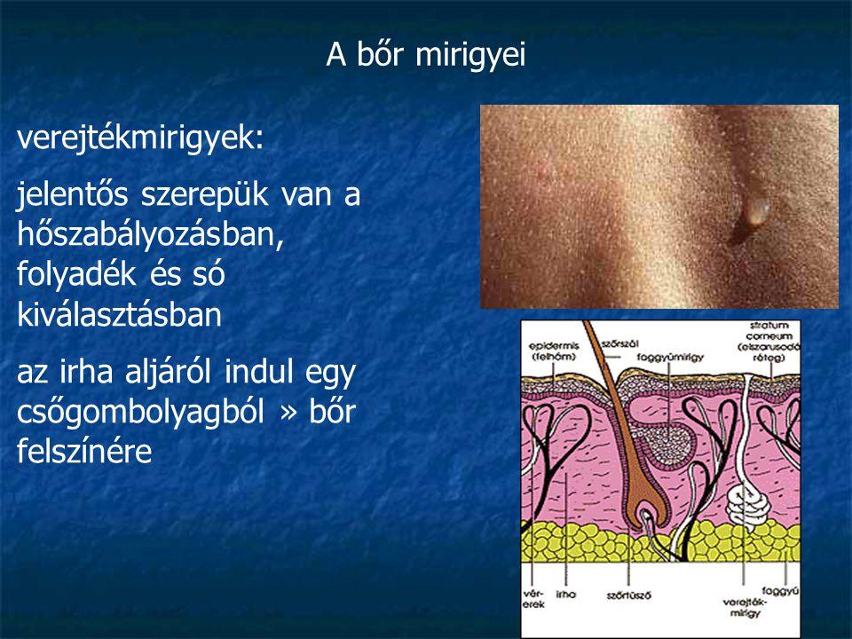 A bőr mirigyei verejtékmirigyek: jelentős szerepük van a hőszabályozásban, folyadék és só kiválasztásban az irha aljáról indul egy csőgombolyagból » b