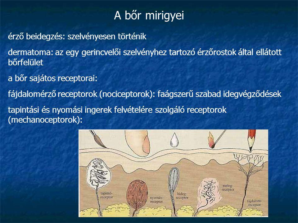 A bőr mirigyei érző beidegzés: szelvényesen történik dermatoma: az egy gerincvelői szelvényhez tartozó érzőrostok által ellátott bőrfelület a bőr sajá
