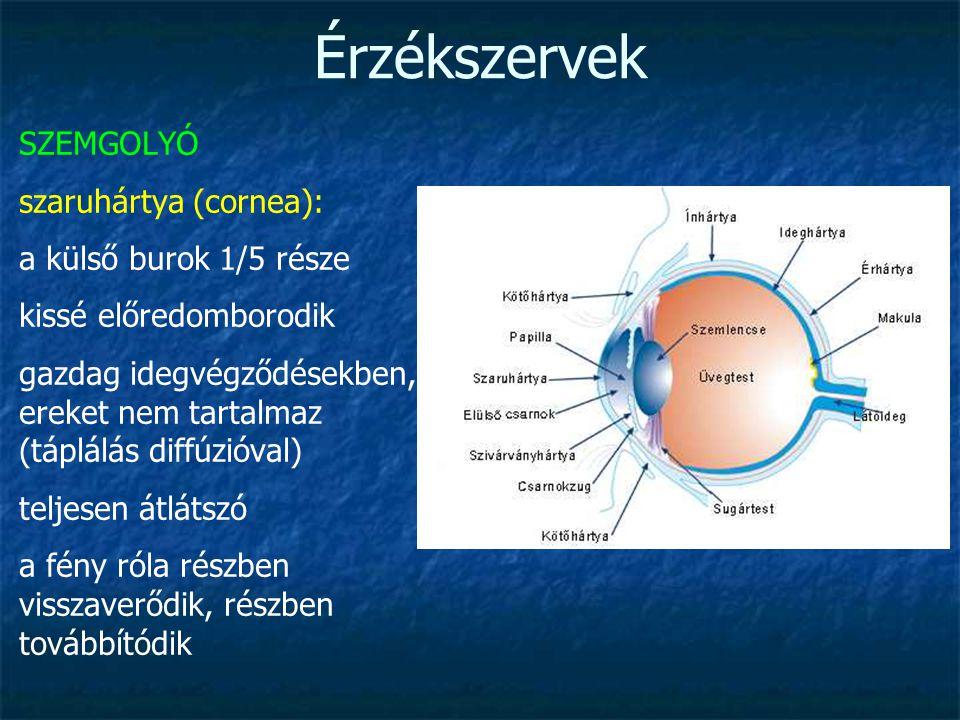 Érzékszervek SZEMGOLYÓ szaruhártya (cornea): a külső burok 1/5 része kissé előredomborodik gazdag idegvégződésekben, ereket nem tartalmaz (táplálás di