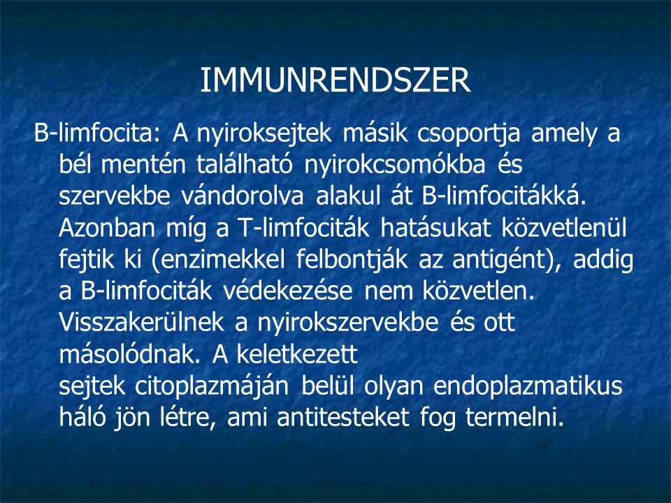 IMMUNRENDSZER B-limfocita: A nyiroksejtek másik csoportja amely a bél mentén található nyirokcsomókba és szervekbe vándorolva alakul át B-limfocitákká