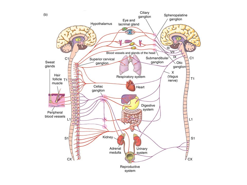 A mellékvese velőállománya A mellékvese 4-5g tömegű szerv a vese felső pólusán zsírszövetbe ágyazva.