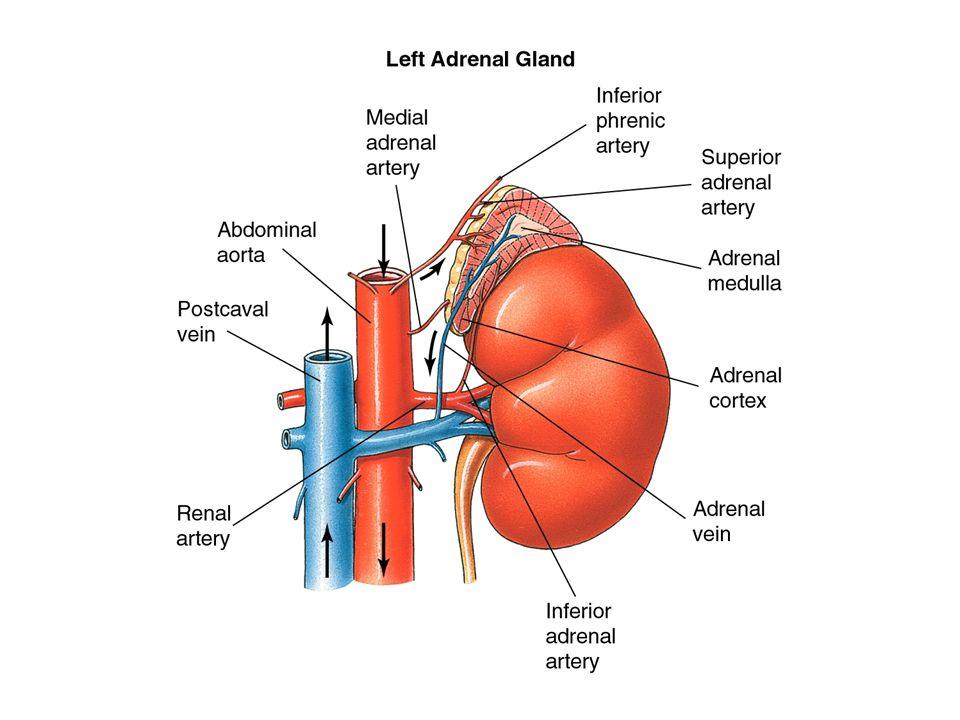  Andrenerg receptorok  1 noradrenalin > adrenalin –Vazokonstrikció (vese, bőr, emésztőrendszer) –Szfinkterek, epehólyag, lép, méh simaizomkontrakció –Bronchuskontrakció –M.