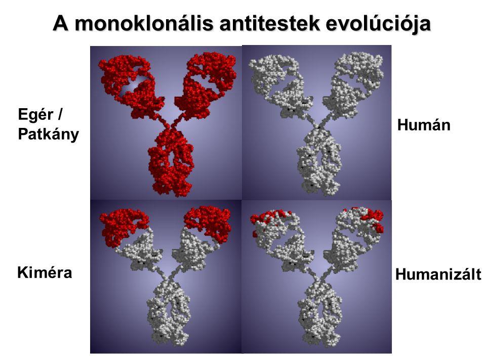 A monoklonális antitestek evolúciója Egér / Patkány Kiméra Humán Humanizált